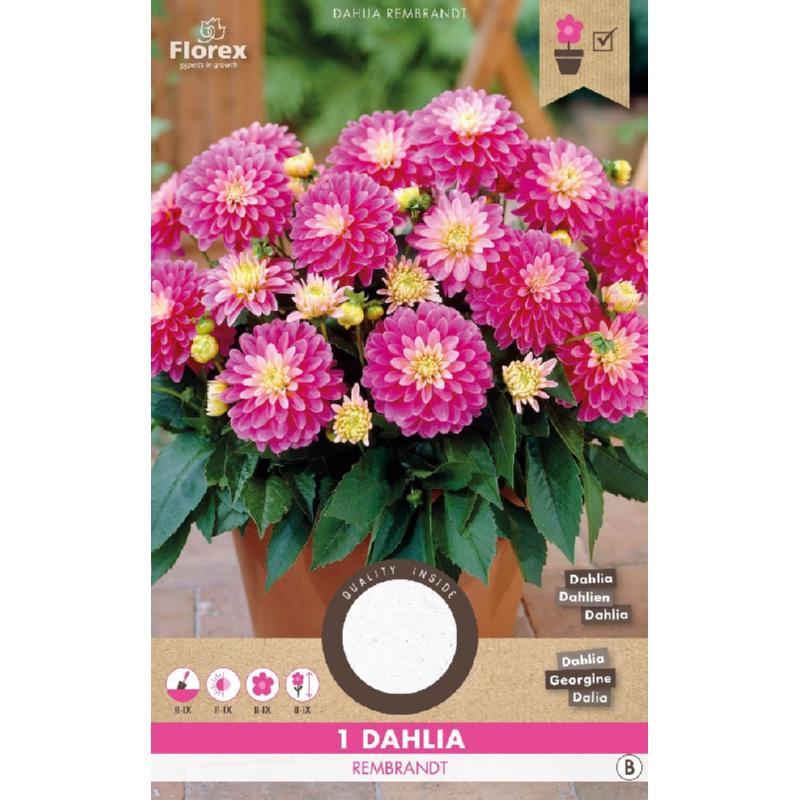 Dahlia Decoratief Gallery Rembrandt Rose Geel (15) 975.67