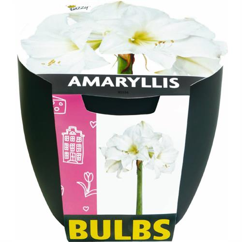 Buzzy® Bulbs Amaryllis Wit (8)