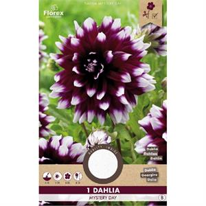 Dahlia Decoratief Mystery Day Paars/wit (15) 975.27